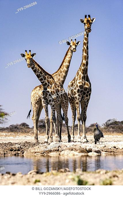 Group of Giraffe at Onkolo Hide, Onguma Game Reserve, Namibia, Africa