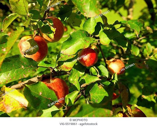 Rote A̿pfel ha̿ngen auf einem Baum - Red apples on a tree - 26/09/2009
