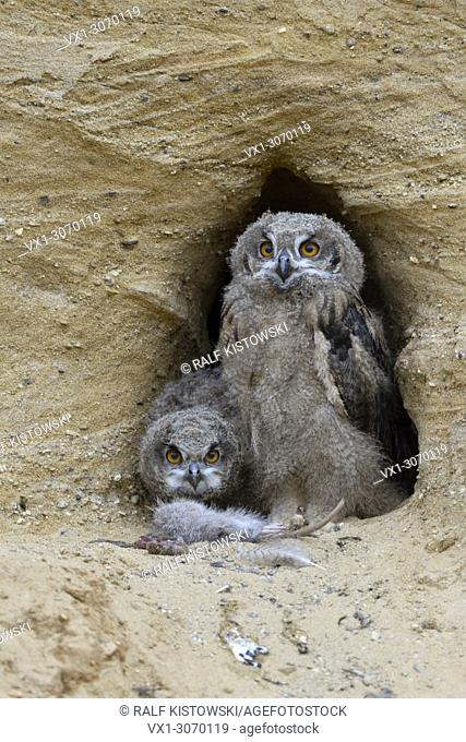 Eurasian Eagle Owls (Bubo bubo), young chicks at nesting site, feeding on prey ( nutria), wildlife, Germany, Europe