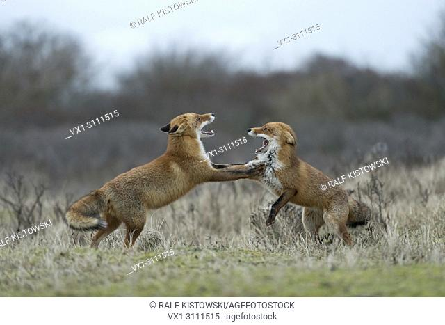 Red Foxes / Rotfuechse ( Vulpes vulpes ), two adults, in agressive fight, fighting, threatening each other, open jaws, territorial behaviour, wildlife, Europe