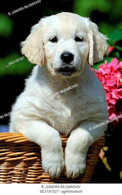 Golden Retriever. Puppy in a wicker basket with flowering Hydrangea in background. Germany