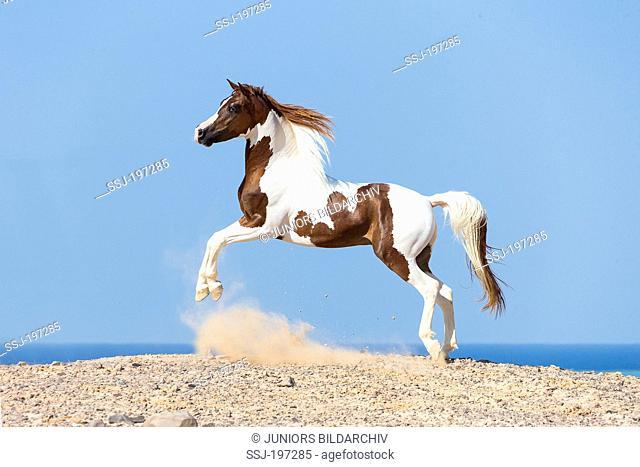 Pintabian. Skewbald stallion leaping in the desert. Egypt
