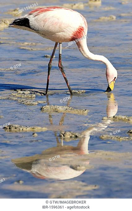 Puna or James's Flamingo (Phoenicoparrus jamesi), Laguna Hedionda, Potosi, Bolivia, South America