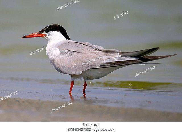 Common tern (Sterna hirundo), standing at the shore, side view, Romania, Danube Delta