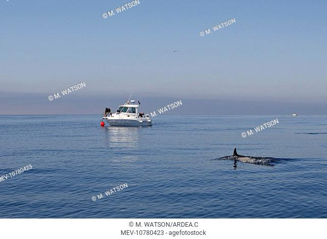 Common Dolphin - swimming in the strait of Gibraltar with boat behind. (Delphinus delphis)