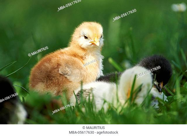 Domestic chicken, Gallus gallus domesticus, chick, meadow, frontal, standing, looking at camera