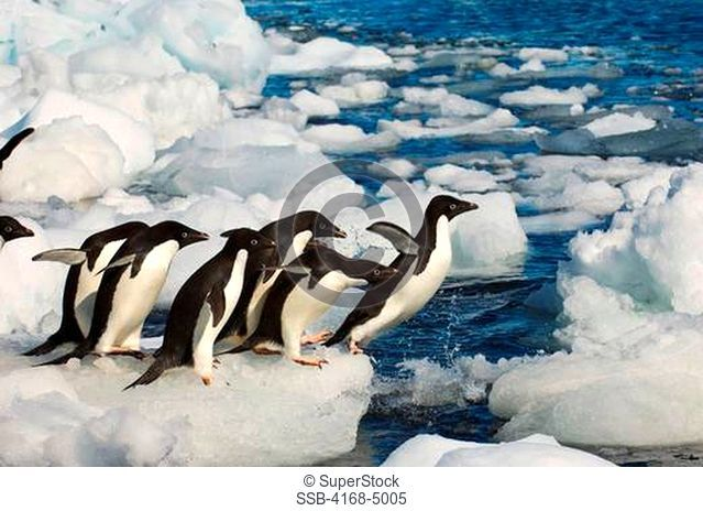 antarctica, paulet island, beach, adelie penguins on ice pebbles jumping