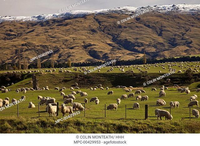 Domestic Sheep (Ovis aries) flock grazing under Rock and Pillar Range, Central Otago, New Zealand