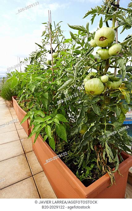 Urban garden. Tomato and pepper plants. Terrace housing. Donostia. San Sebastian. Basque Country. Spain