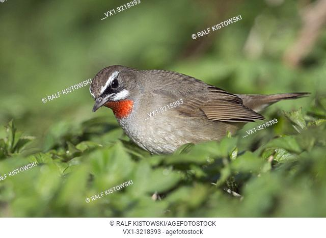 Siberian Rubythroat / Rubinkehlchen ( Luscinia calliope ), male bird sitting on the ground, searching for food in the undergrowth, Hoogwoud, Netherlands
