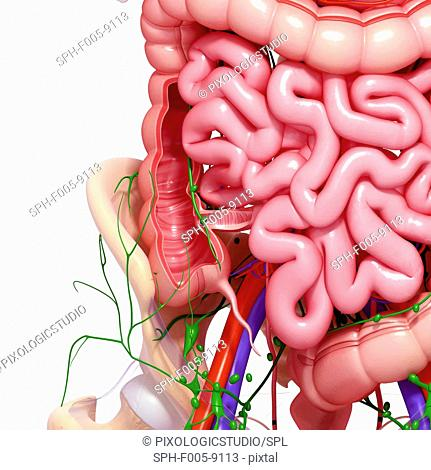 Healthy digestive system, computer artwork