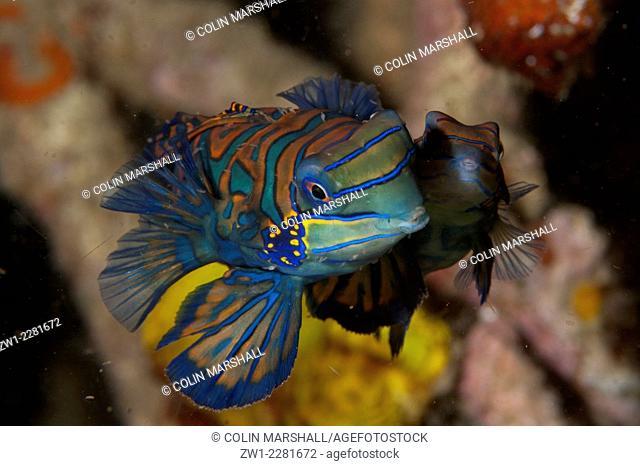 Mating pair of Mandarinfish (Synchiropus splendidus) with ornate markings amongst coral, Lembeh Island Resort House Reef dive site, Lembeh Straits, Sulawesi