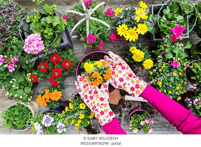 Hands of woman planting large variety of summer flowers