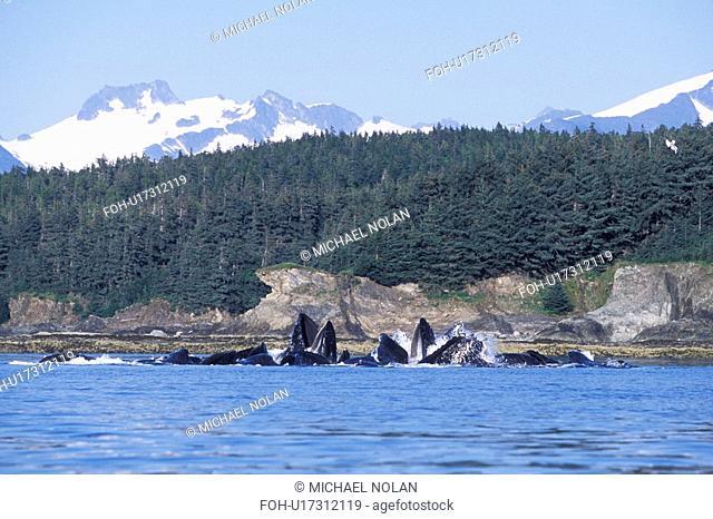 Humpback Whales Megaptera novaeangliae cooperatively bubble-net feeding Lynn Canal, Southeast Alaska, USA