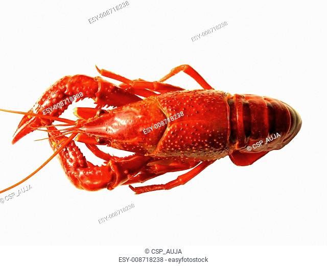 Close up of crawfish isolated