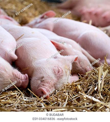Close up of cute piglets sleeping on straw after suckling. Sow in background