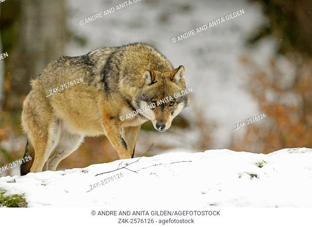 Adult Eurasian wolf (Canis lupus lupus) standing in the snow and looking at camera, controlled situation, Bayerische wald, Germany
