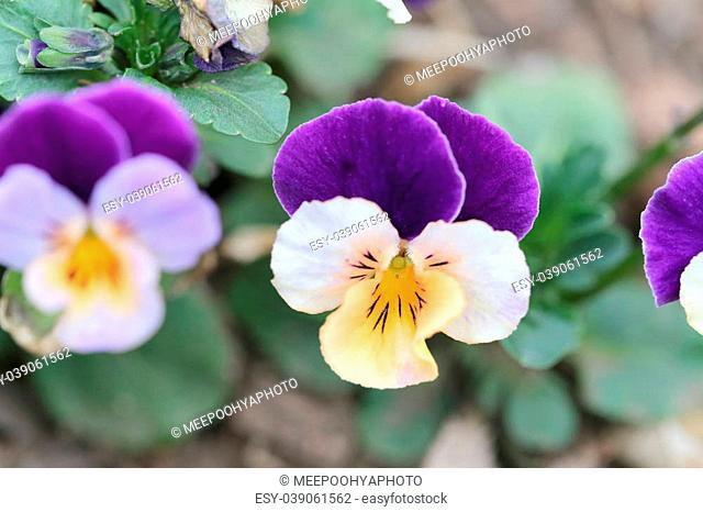 Mix color pansy flower in Japan garden