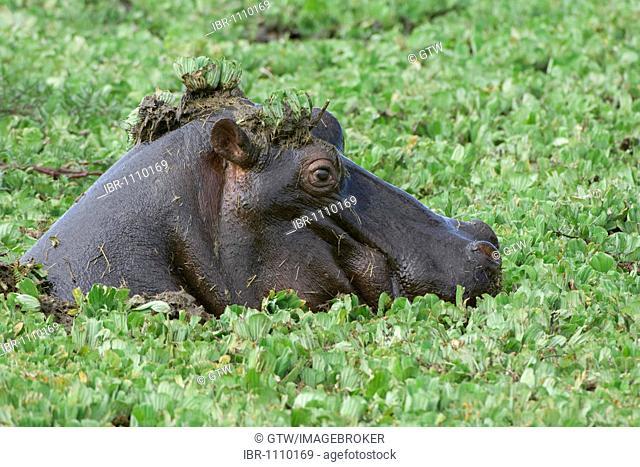 Hippopotamus (Hippopotamus amphibius), head in the middle of pond lilies, Masai Mara, Kenya, East Africa