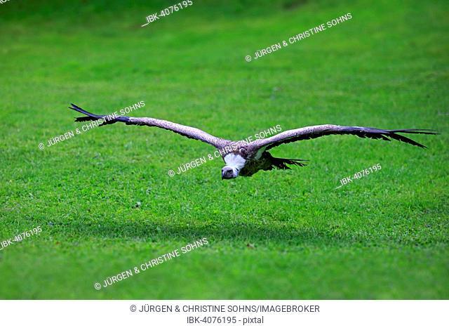 Eurasian Griffon or Griffon Vulture (Gyps fulvus), adult, in flight, captive, Eifel, Germany
