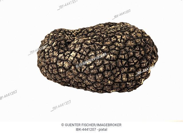 Burgundy truffle, summer truffle (Tuber uncinatum)