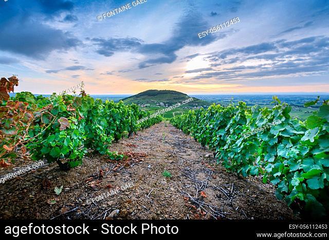 Lever du jour au milieu des vignes avec vue sur le Mont Brouilly