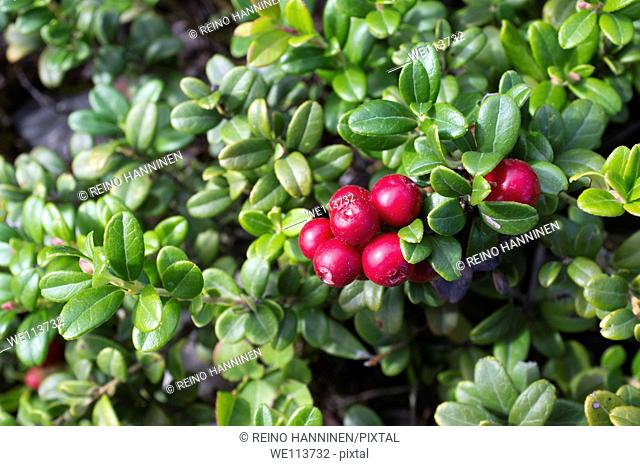 Lingonberry  Vaccinium vitis-idaea , Ericaceae  growth and berries, LocationOulu, Finland, Scandinavia, Europe