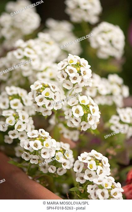 White Alyssum (Lobularia maritima)