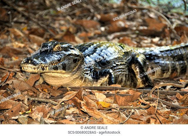 Pantanal caimans, Caiman crocodilus yacare, San Francisco Ranch, Miranda, Mato Grosso do Sul, Brazil