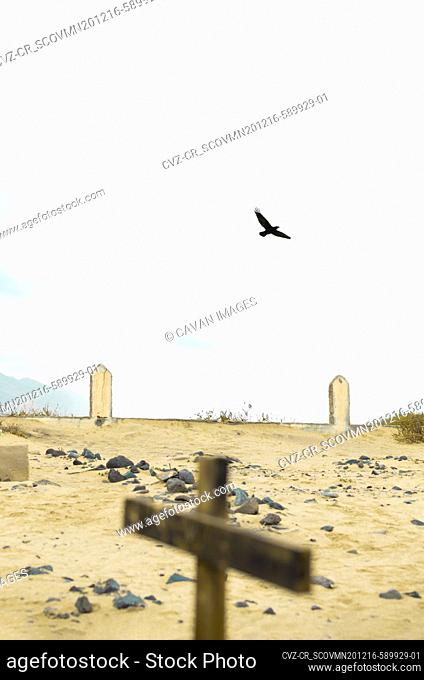 Raven flying in an old cemetery on a beach of Fuerteventura, Canary Islands