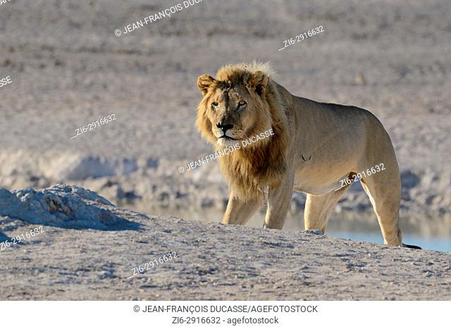 African lion (Panthera leo) standing at a waterhole, Etosha National Park, Namibia, Africa
