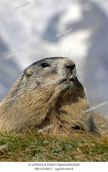 Alpine marmot (Marmota marmota), portrait, High Tauern National Park, Carinthia, Austria
