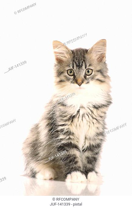 young Siberian forest cat - sitting - cut out