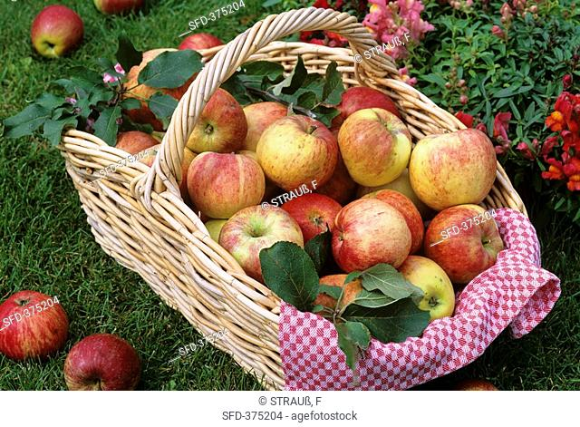 Basket of freshly picked apples on grass