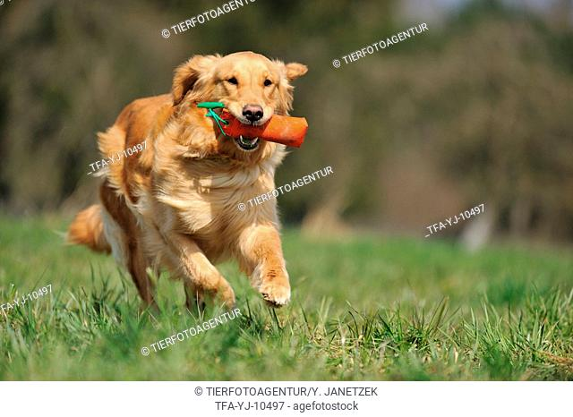 retrieving Golden Retriever
