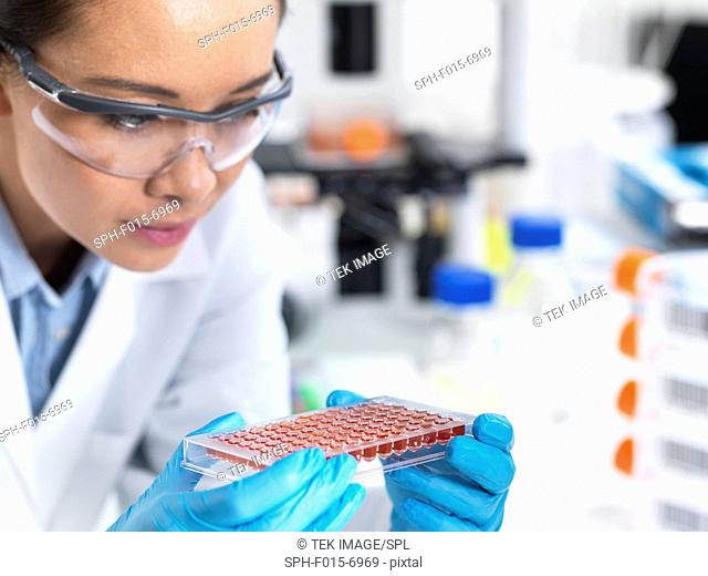 MODEL RELEASED. Researcher preparing a multi-well sample tray of blood for analysis