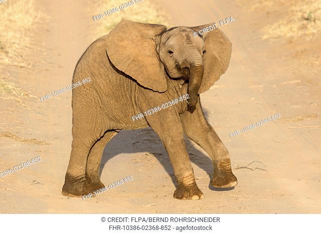 African Elephant (Loxodonta africana) calf, standing on track in semi-desert dry savannah, Samburu National Reserve, Kenya, August