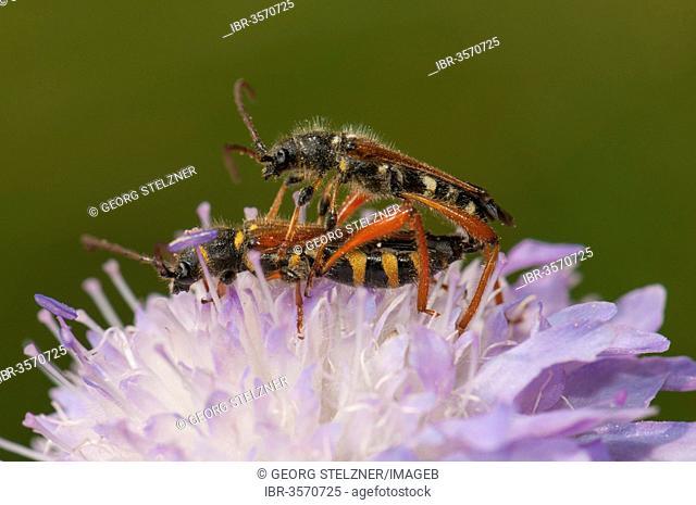 Round-necked Longhorn Beetle (Stenopterus rufus), pair mating