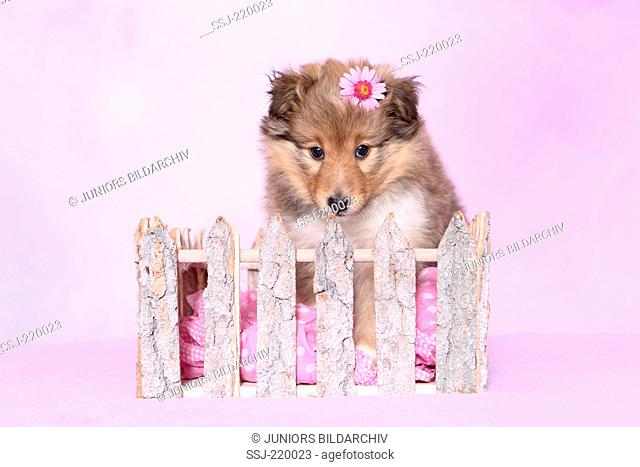 Shetland Sheepdog. Puppy (6 weeks old) behind a fence, wearing a pink flower on its head. Studio picture against a pink background