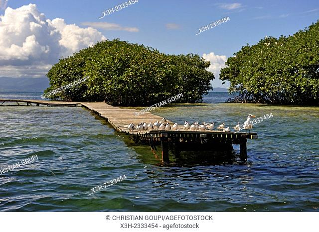 mangrove, Grand Cul-de-sac Marin, Vieux-Bourg, Morne-a-l'eau, Grande-Terre, Guadeloupe, overseas region of France, Leewards Islands, Lesser Antilles, Caribbean
