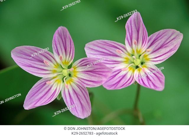 Spring beauty (Claytonia virginica), Sheguiandah, Manitoulin Island, Ontario, Canada