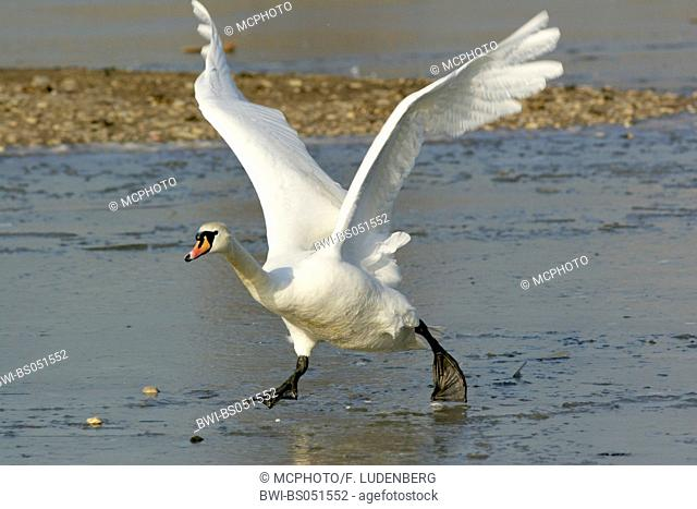 mute swan (Cygnus olor), starting, Germany