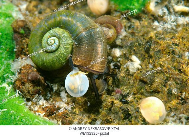 snail next to caviar. Great Ramshorn Snail (Planorbis planorbis), Lake Baikal, Siberia, Russian Federation, Eurasia