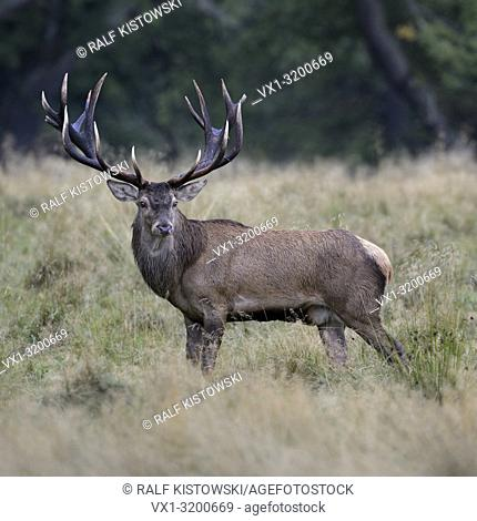 Royal stag, impressive Red Deer ( Cervus elaphus ) on a clearing in the woods, watching back attentively, nice side view, Europe