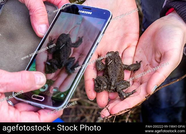 21 February 2020, Mecklenburg-Western Pomerania, Schwerin: A common toad is photographed with a smartphone at the toad fence at the Babenkoppel for...