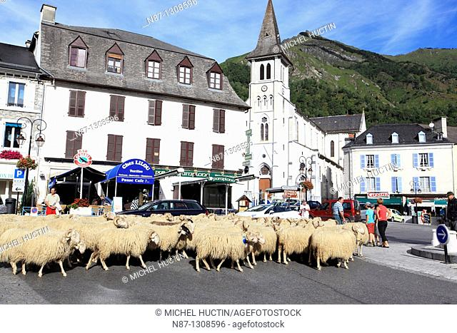 During transhumance sheep pass through the village of Laruns to reach an high pastures.  Pyrénées-Atlantiques. France