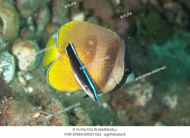 Klein's Butterflyfish Chaetodon kleinii adult, with Blue-streaked Cleaner Wrasse Labroides dimidiatus juvenile, Ambon Island, Indonesia