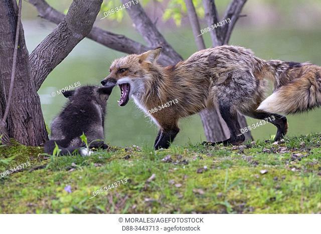 : Etats-Unis, Minnesota , Renard roux (Vulpes vulpes), Adulte et jeune, captif / United Sates, Minnesota, Red Fox (Vulpes vulpes), Adult and young, captive