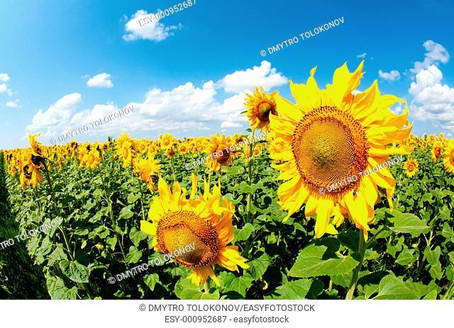 sunflowers field under bright sky