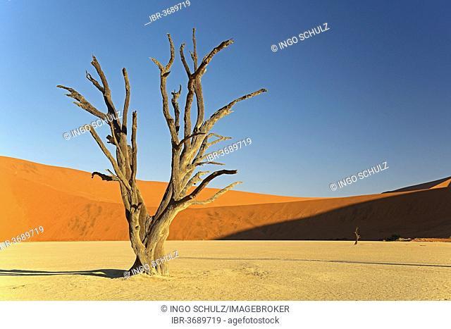 Dead Camel Thorn or Giraffe Thorn (Acacia erioloba) in the evening light, Deadvlei, Sossusvlei, Namib-Naukluft Park, Namib Desert, Namibia